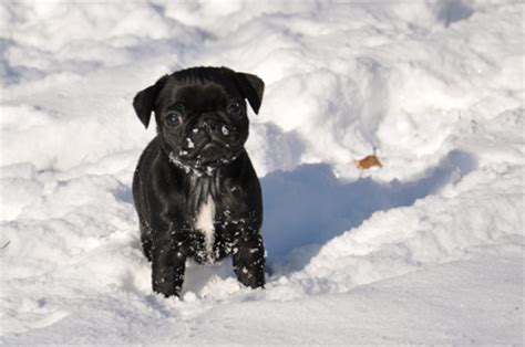 how much walking does a pug need pugs do snow days odyssey