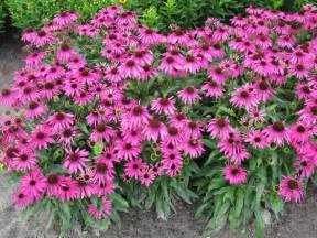 echinacea butterfly purple emperor pp 24459 plants