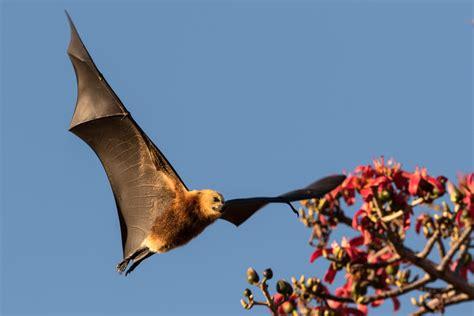 volpi volanti salviamo i fruit bats le volpi volanti wwf italy