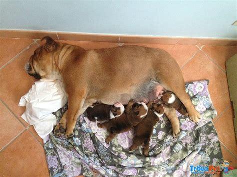 Bulldog Appartamento by Bulldog Inglese In Vendita Annunci Cuccioli Bulldog