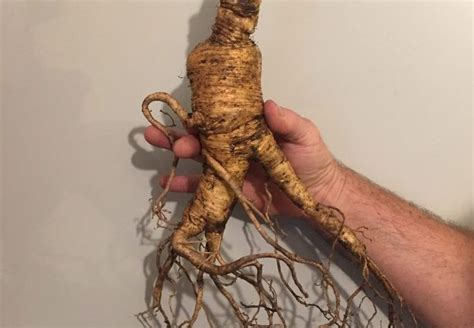 how to hunt for wild ginseng 11 steps with pictures giant ginseng dug in maryland could be world s largest
