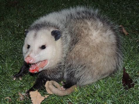 Virginia Opossum (Didelphis virginiana) observed by
