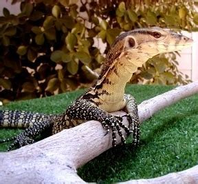 water monitor facts  pictures