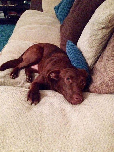 rona dog house rona 2 year old female english cocker spaniel dog for adoption