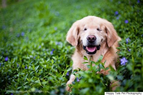 huffington post golden retriever smiley a blind therapy perfectly lives up to his name huffpost