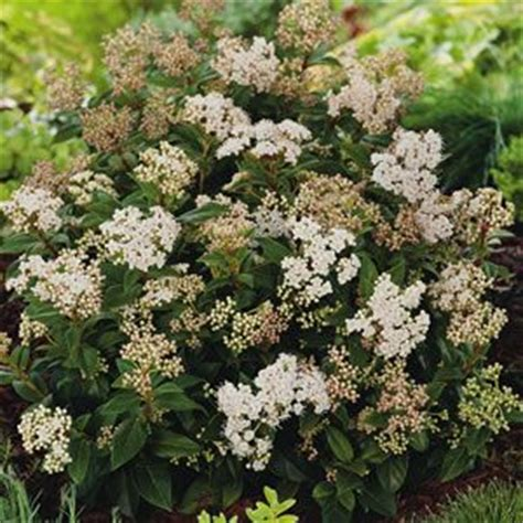 evergreen shrubs with white flowers viburnum tinus fast growing and hardy an evergreen