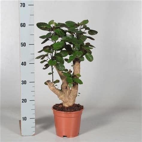 polyscias fabian pcm hcm plant wholesale floraccess