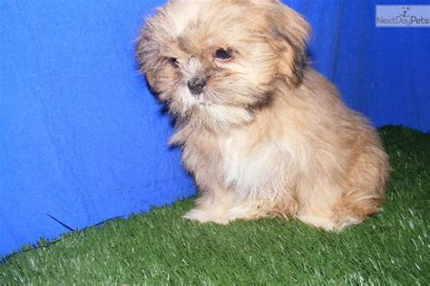 shih tzu breeders in arkansas princess shih tzu shih tzu puppy for sale near jonesboro arkansas
