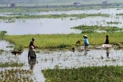 harvest rice editorial image image