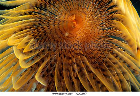 Daster St Bali feather duster worms stock photos feather duster worms