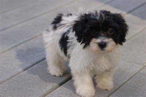 encore havanese groom havanese havanese breeders havanese puppies for sale contact us royal