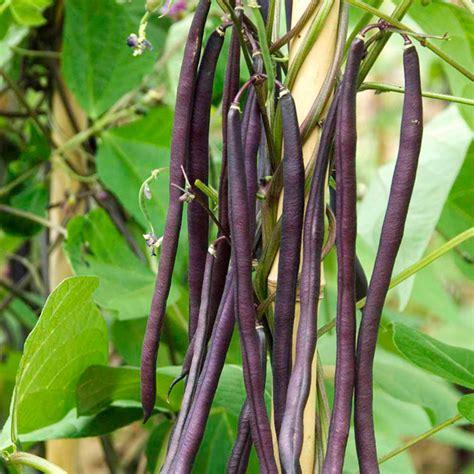 climbing bean seed carminat dobies - Climbing Bean Plant