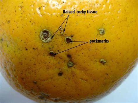 Abs Lemon Outer fact sheet alternaria citrus diseases