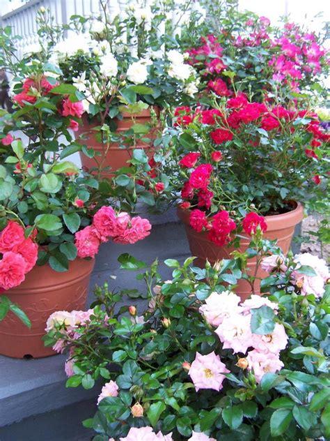 easy roses to grow the old farmer s almanac