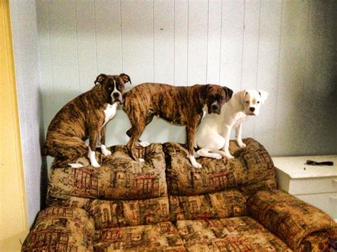 how to a to not jump on furniture your boxer not to jump on furniture
