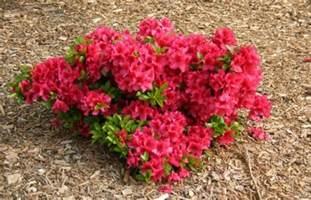azaleas for the home garden flowering shrubs for