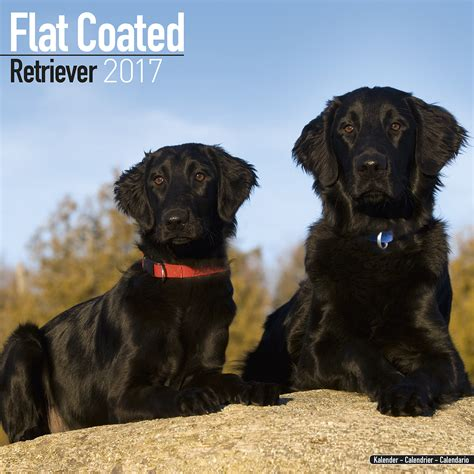 flatcoated retriever calendar 2017 pet prints inc