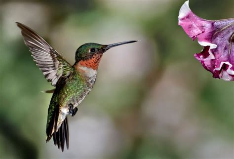 can i install hummingbird flying on a christmas tree ruby throat hummingbirds embroidered tablecloth 36 quot square