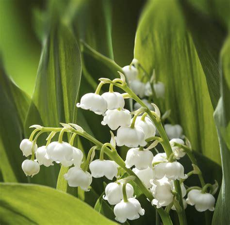 Muguet Fleurs Images by Choisir Du Muguet Ooreka