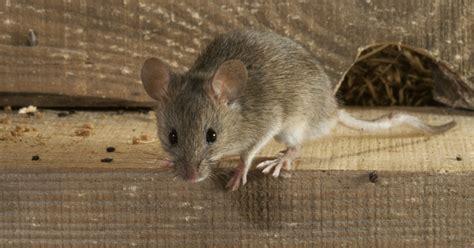 muizen in huis muizen in huis hoe krijg je ze weg milieucentraal