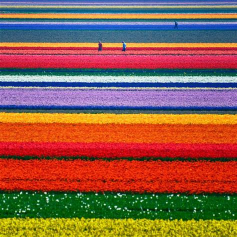 tulip field dutch tulip fields shelley davies