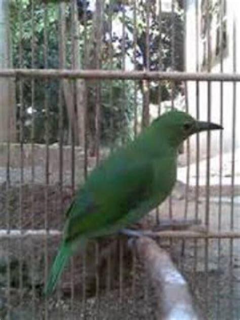 Sanger Betina Dewasa perbedaan burung cucak ijo jantan dan betina burung kicau