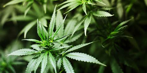 Detox Marijuana Rehab by Marijuana Addiction And Rehab In Oregon Finding Help