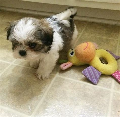 shih tzu puppies san antonio shih for sale puppies for sale