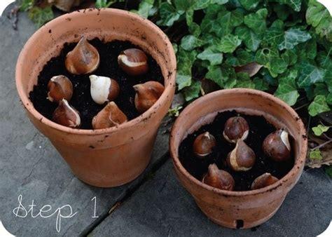 bulbi tulipani in vaso piantare bulbi tulipani bulbi piantare bulbi di tulipani