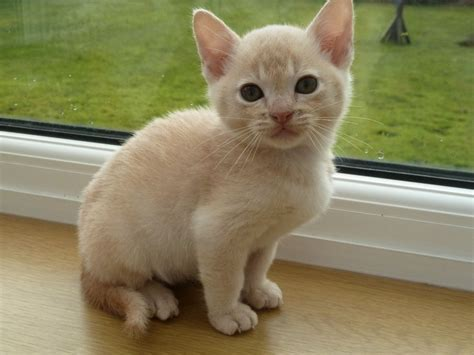 For Cats by Beautiful Burmese Kitten Altrincham Greater Manchester