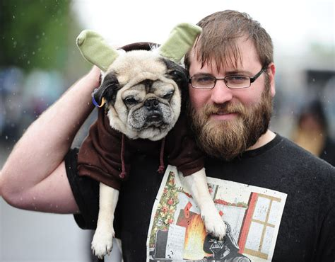 pug dressed up as yoda a pug dressed as yoda wars pug parade pictures pics express co uk