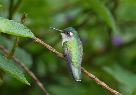 violet headed hummingbird photo roger ahlman photos at