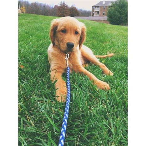 golden retriever breeders ky view ad golden retriever puppy for sale kentucky florence
