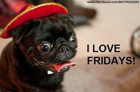 happy friday pug pug fridays pug pug pug pug pug pug pug and