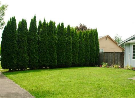 what tree to plant in backyard green giant arborvitae best trees to plant 10 options