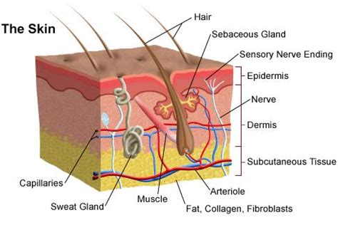 cross section of the skin your skin and how does acne affect it