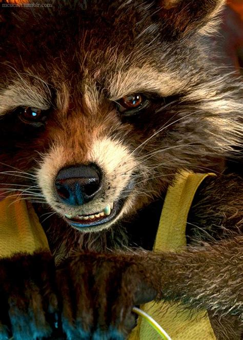 marvel film with raccoon 17 best images about guardians of the galaxy on pinterest