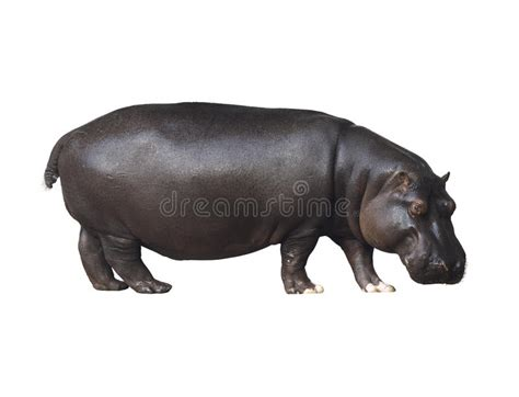 Hippo White hippo on a white background stock image image of animals