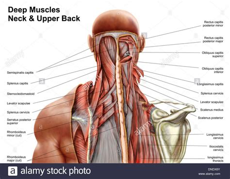 back muscle anatomy stock images royalty free images vectors