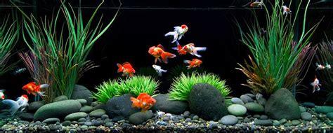 aquarium design kolkata 25 best goldfish tank ideas on pinterest