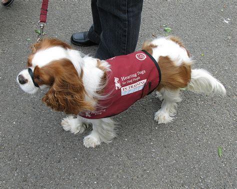 hearing dogs hearing dogs canis bonus