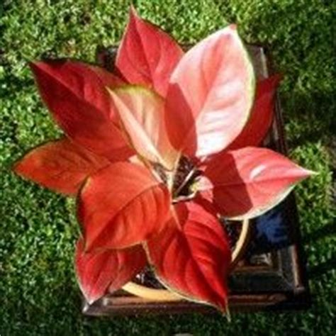 Tanaman Hias Aglonema Tiara 34 best images about aglaonema on velvet