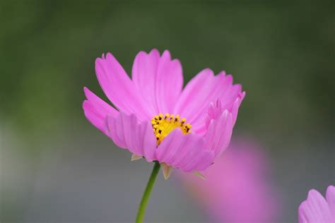 Wallpaper Dinding Bunga Cosmo 814 1 gambar alam mekar menanam daun bunga berkembang bunga aster berwarna merah muda flora
