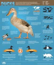 an original duckumentary infographic all about ducks