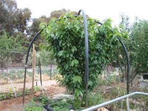 scarecrow s garden cherry tree net frame