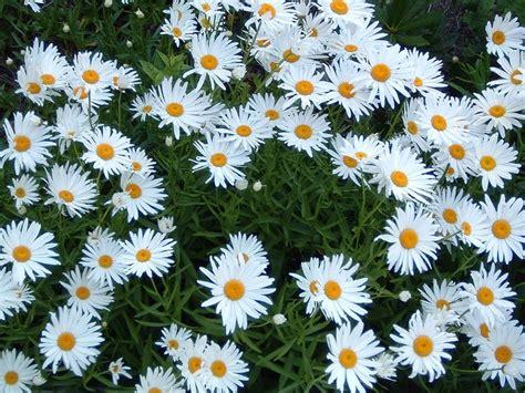 deadheading daisies how to deadhead shasta daisies