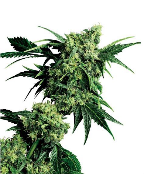 lade cannabis la marihuana usos y efectos c 225 241 amo drogas psicoactivas