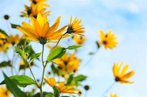 fiori topinambur come coltivare sul balcone il topinambur rapa tedesca o