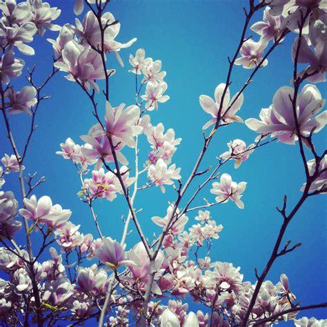 wallpaper bunga sakura warna biru gambar alam cabang mekar menanam putih daun bunga