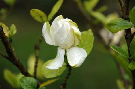 fertilizer  gardenias lovetoknow